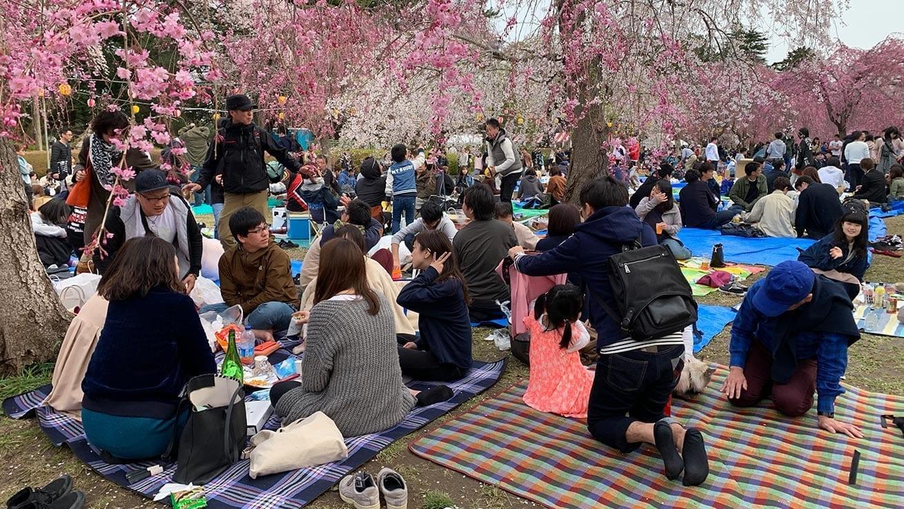 cokoguri - Sakura and Hanami at Tsutsujigaoka Park
